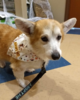 Corgi_Gizmo_Leash.png