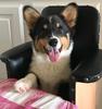 Corgi_Link_Gizmo_Bailey_Chair.
