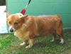 Tony_the_pembroke_corgi.png